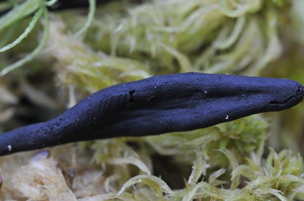Geoglossum glabrum (Myrjordtunga)