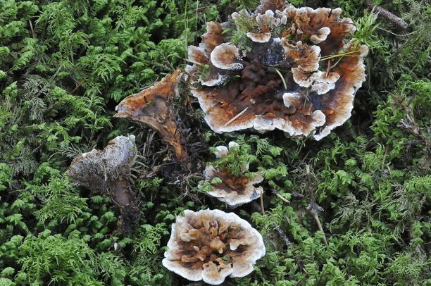 Hydnellum aurantiacum (orange taggsvamp)