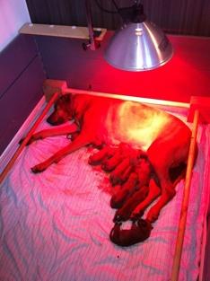 Mor med 9 valpar myser under värmelampan