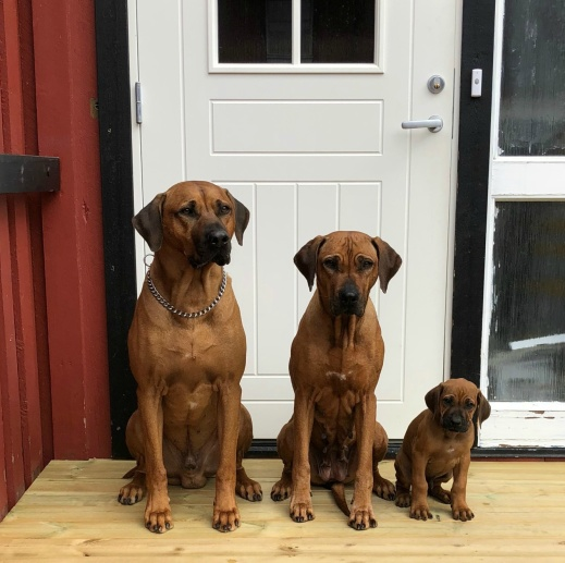Tre generationer Waytogo-hundar; pappa Aaron, farmor Telma and lilla Caesar