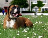Trubbnosiga hundar har det ofta svårare i värmen än urtypen.