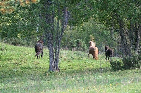 Hästarna Spenna, Spec och Aron på sommarbete