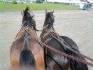 Wångens hästar