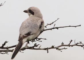Ökenvarfågel