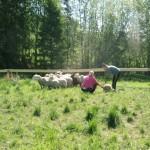 Wilma kollar in fåren men var mest intresserad av fårlortarna