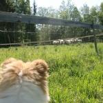 Wilma kollar in när Ziwa jagar ull tanter