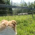 Wilma kollar fåren