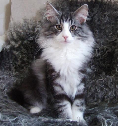 Norsk Skogkatt kattunge