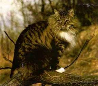 Pans Truls, den katt efter vilken standarden för den Norsk Skogkatt är skriven