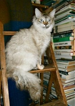 Movitz dotter S* DivineCURLYcats Glamour