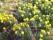 Påsklilja