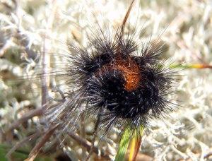 Den här spretiga larven ska bli en gulfläckig igelkottspinnare.