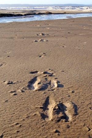 Målmedvetna älgspår i sanden.