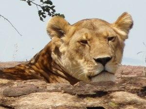 Lejon på Masai Mara 2012