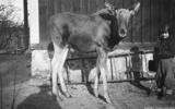 Taget vid backalund svartå_elgen svartolotta_1934