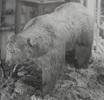 "Den ""sista"" björnen sköts vid Sirsjön 1860"