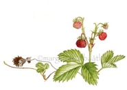 Strawberry, one of Carl von Linnés favourites