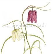 Fritillaria meleagris, detail