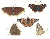 Fjärilssamling vivante. Grafik 30x30cm. Upplaga  10