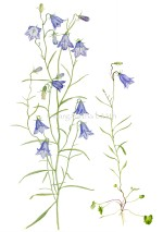 Liten  blåklocka - Campanula rotundiflora