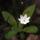 skogsstjärna 7