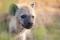 Fläckig Hyena D