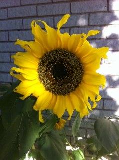 Solros i Stundens trädgård