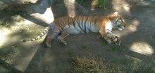 En doft av tiger på Jardín Zoológico