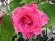 En vacker ros sprider himmelsdoft.