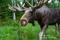 maria_emitslof-moose-1183