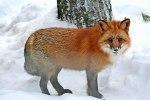 laponie_fox_422_0
