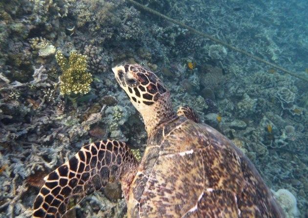 Soppsköldpadda utanför Gili