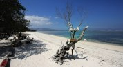 Korallträd