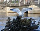 Carinas vinterfågel