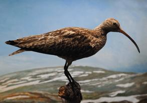 fågel i norrland...
