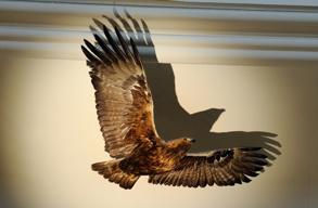 fritt flygande örn...