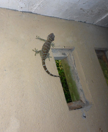 min vän gecko-ödlan...