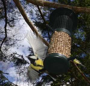Parus major i flykt...