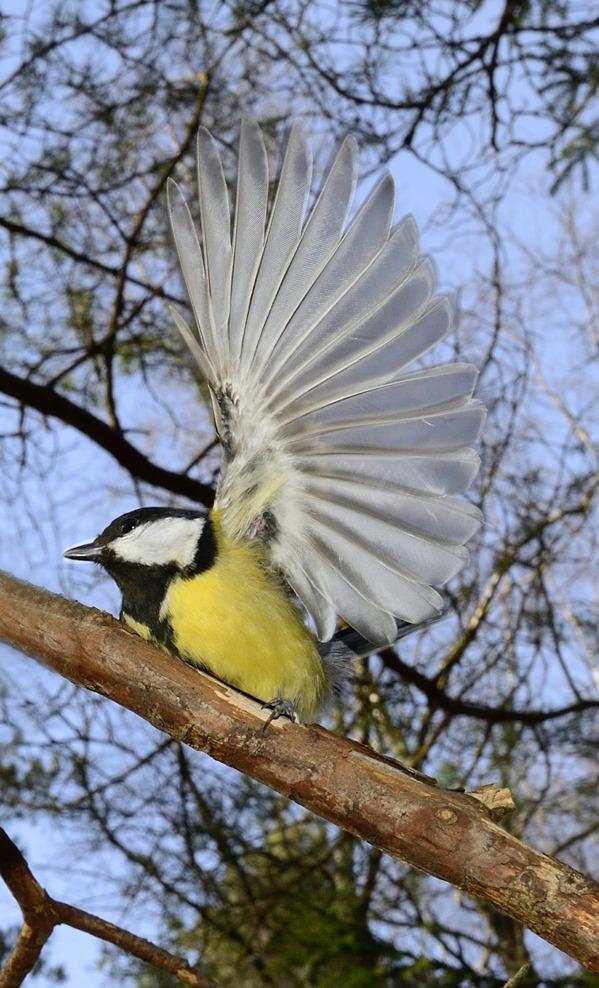 Parus major visar sin vingbredd inför kameran...