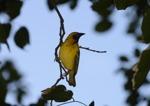 gul fågel...