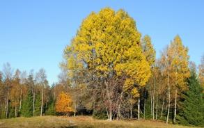 Oktoberträd