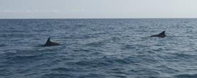 delfiner på hemvägen...