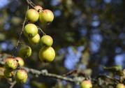 underbara höst äpplen, smakar nog lika fint som dom är vackra...
