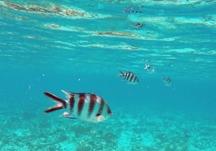 en mycket ovanlig Zebrafisk, en unik bild fångat med GoPron...