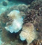 koraller...