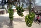 nosen köper frukt mellan bananerna...