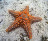 jag är en apelsin sjöstjärna...