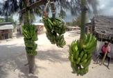 nosen handlar frukt mellan bananerna...