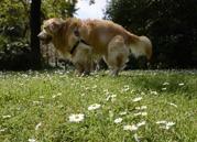 vitsippor med bajsande hund...