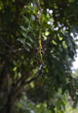 även de fruktade bananspindlarna, stora som en normalstor svensk tallrik ärtsoppa lever på ön...